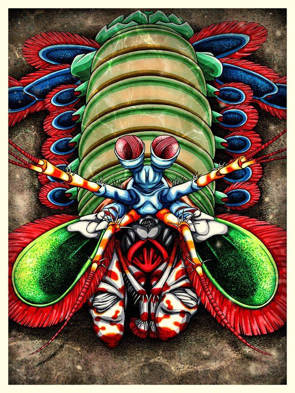 Mantis Shrimp art print