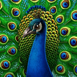 Peacock art print